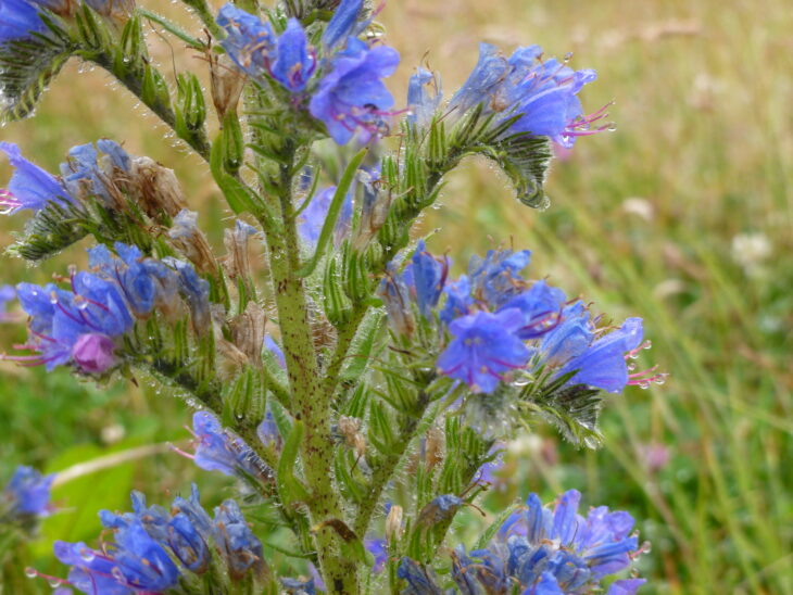 Viper's Bugloss © Lizzie Wilberforce