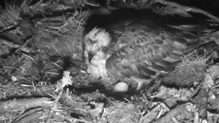 LF15 lays her first egg of 2019 © Scottish Wildlife Trust