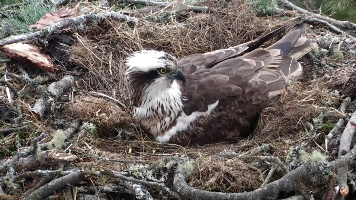 LF15 settles down to incubate © Scottish Wildlife Trust webcam