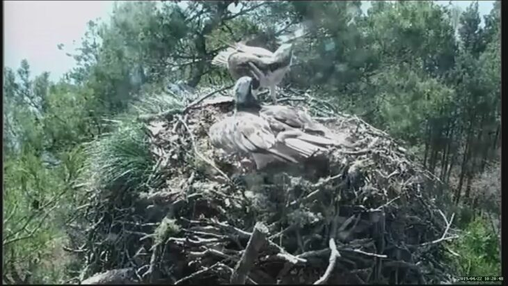 LM12 and LF15 defend the nest from an intruder osprey © Scottish Wildlife Trust
