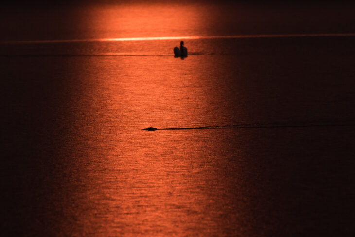 Beaver at Sunrise, Loch of the Lowes ©Johnny Rolt
