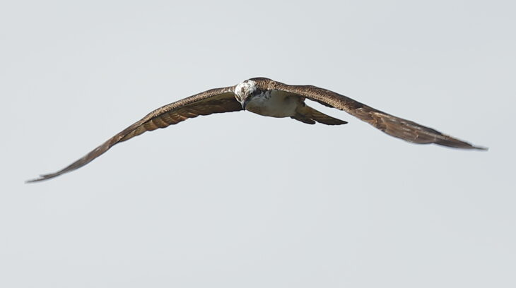Aerial tussles and defending territory and nest are a crucial part of the osprey breeding season © Mark Westgarth