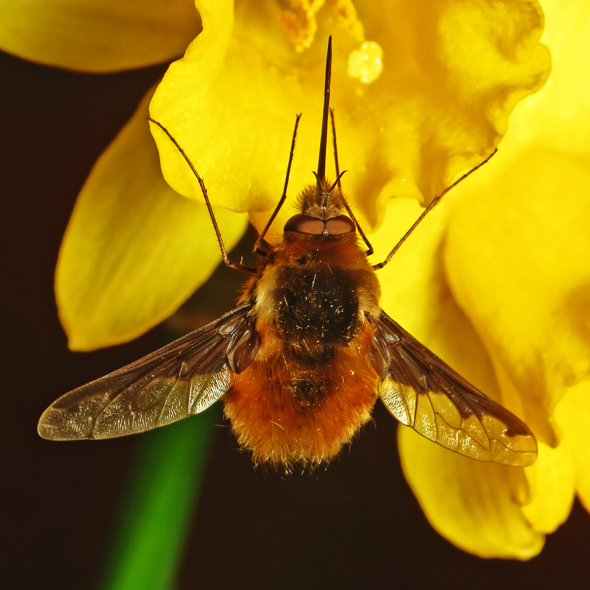 Bombing Bee flies