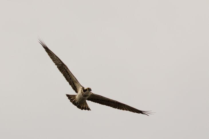 Intruding female osprey © Johhny Rolt