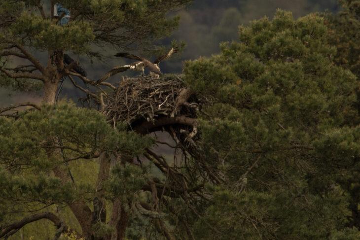 LF15 defends the nest from intruding female © Johhny Rolt