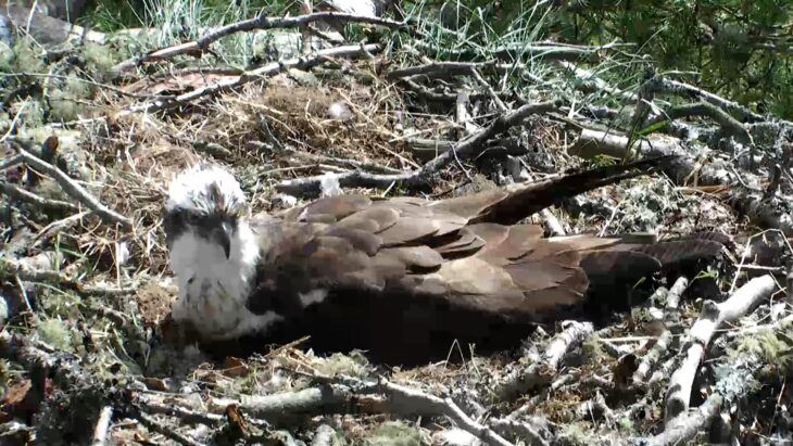 LM12 incubates after a lengthy absence from the nest © Scottish Wildlife Trust