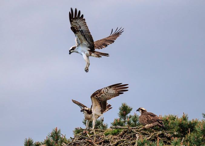 Resident Angus female (on the right of the nest) is challenged by 2 osprey intruders © Darren Dawson