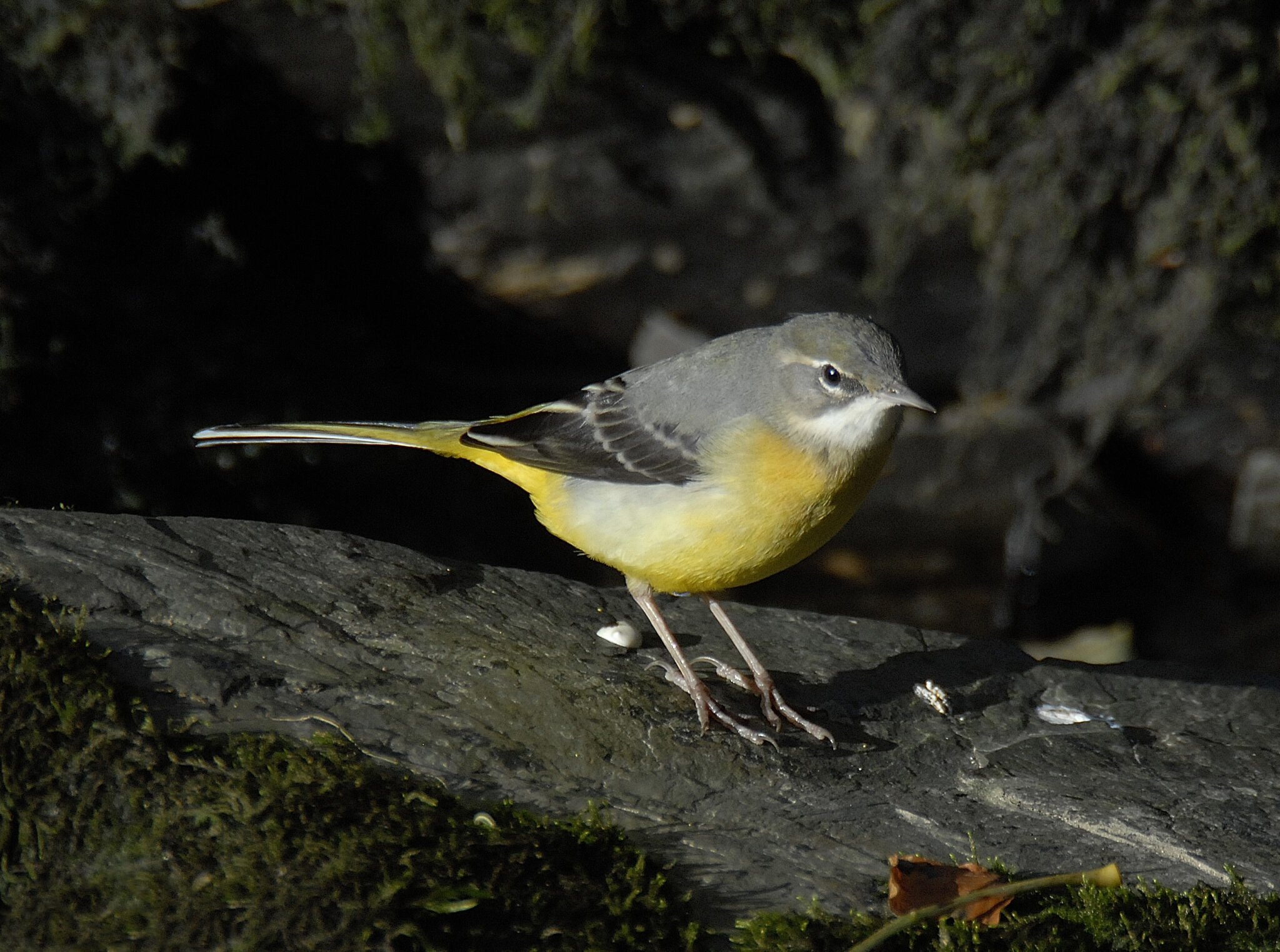 Why do wagtails wag?