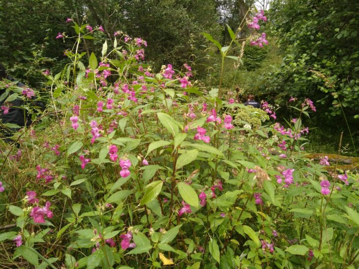 Himalayan Balsam at one of our Tummel Shingle Island Reserves ©Sara Rasmussen