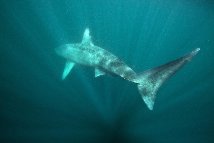 Basking Shark © Alexander Mustard, 2020VISION