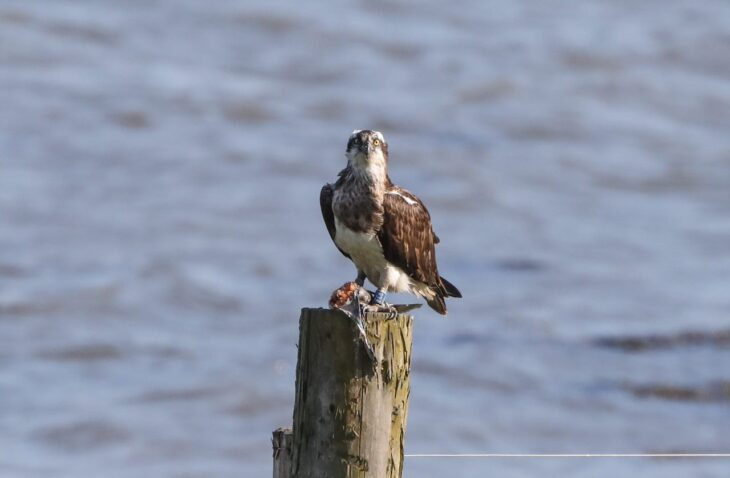 The Migration of the Montrose Basin Ospreys