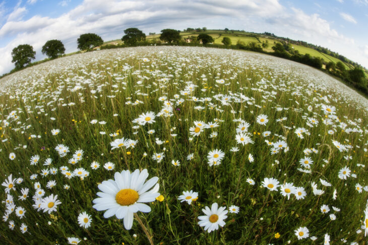 Traditionally managed wildflower meadow with ox-eye daisies