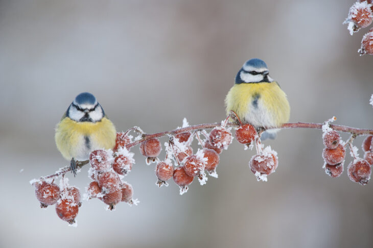 Blue tits in snow © Mark Hamblin/2020VISION