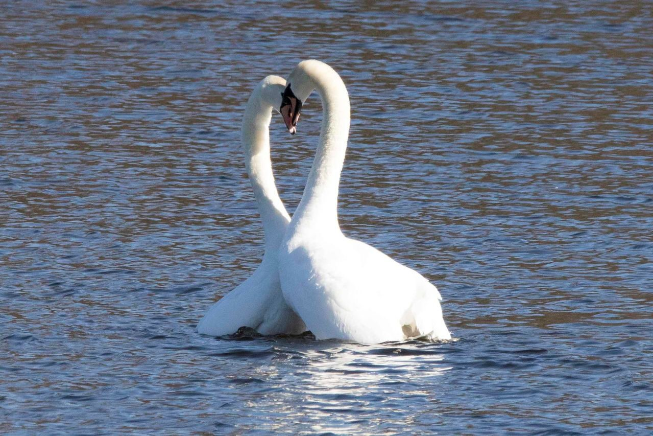 Everything you need to know about mute swans
