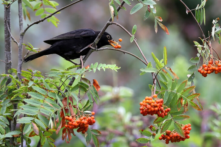 Blackbird feeding on rowan berries © Margaret Holland