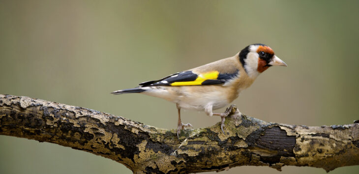 Goldfinch © Neil Aldridge