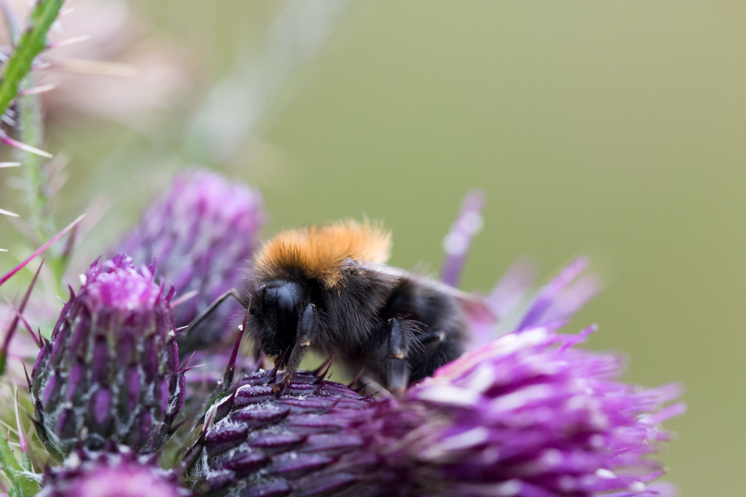 Tree bumblebees have the Falls of Clyde buzzing