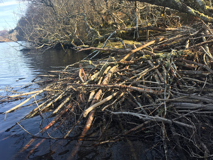 Beaver lodge © H.Taylor, Scottish Beavers