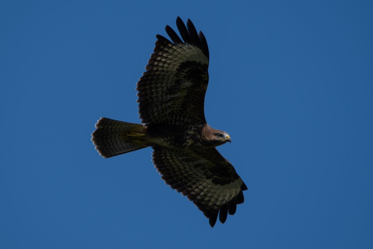 'Just' a buzzard?