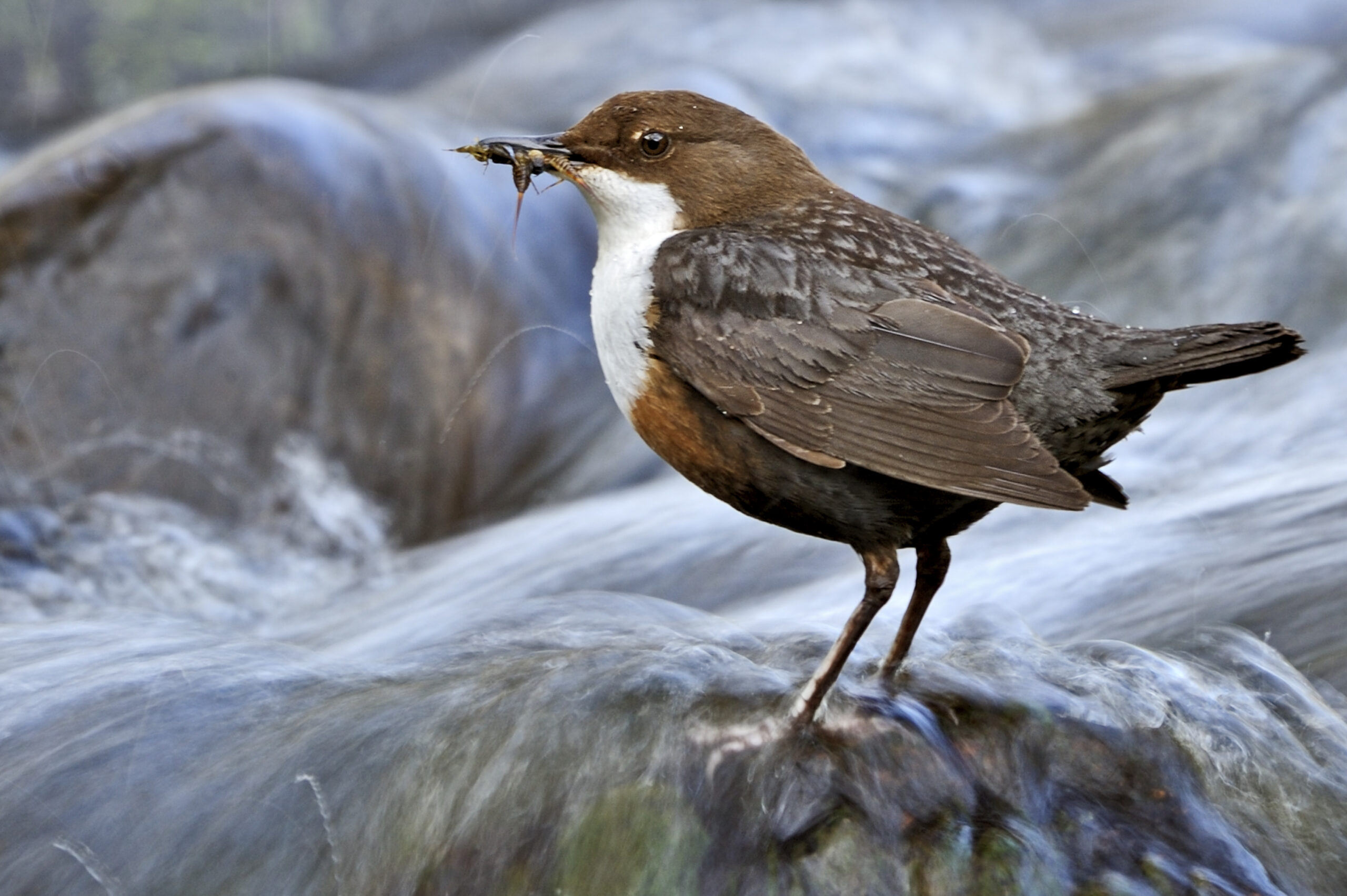 On the lookout for dippers