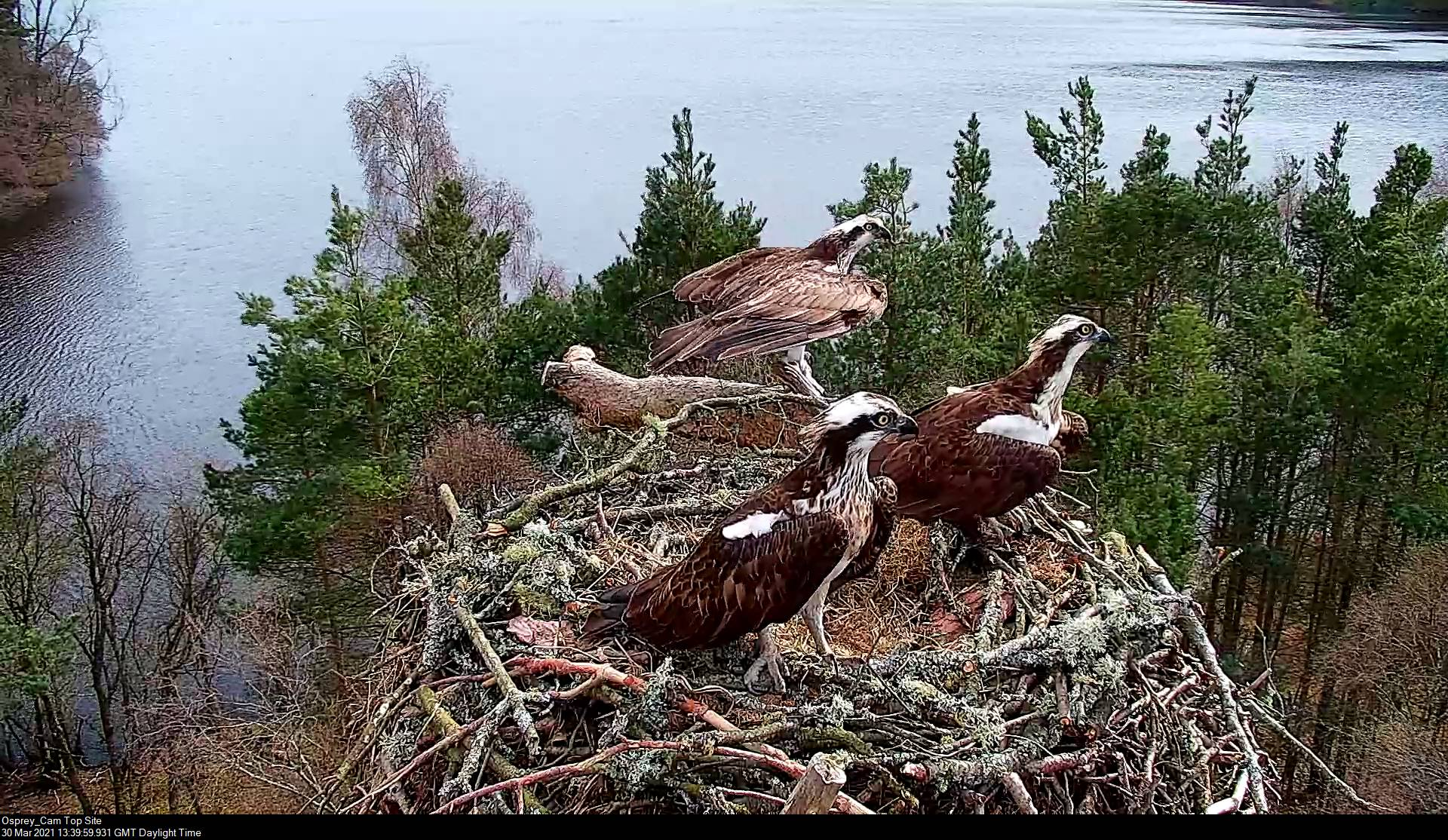 Loch of the Lowes ospreys – calm before the storm!