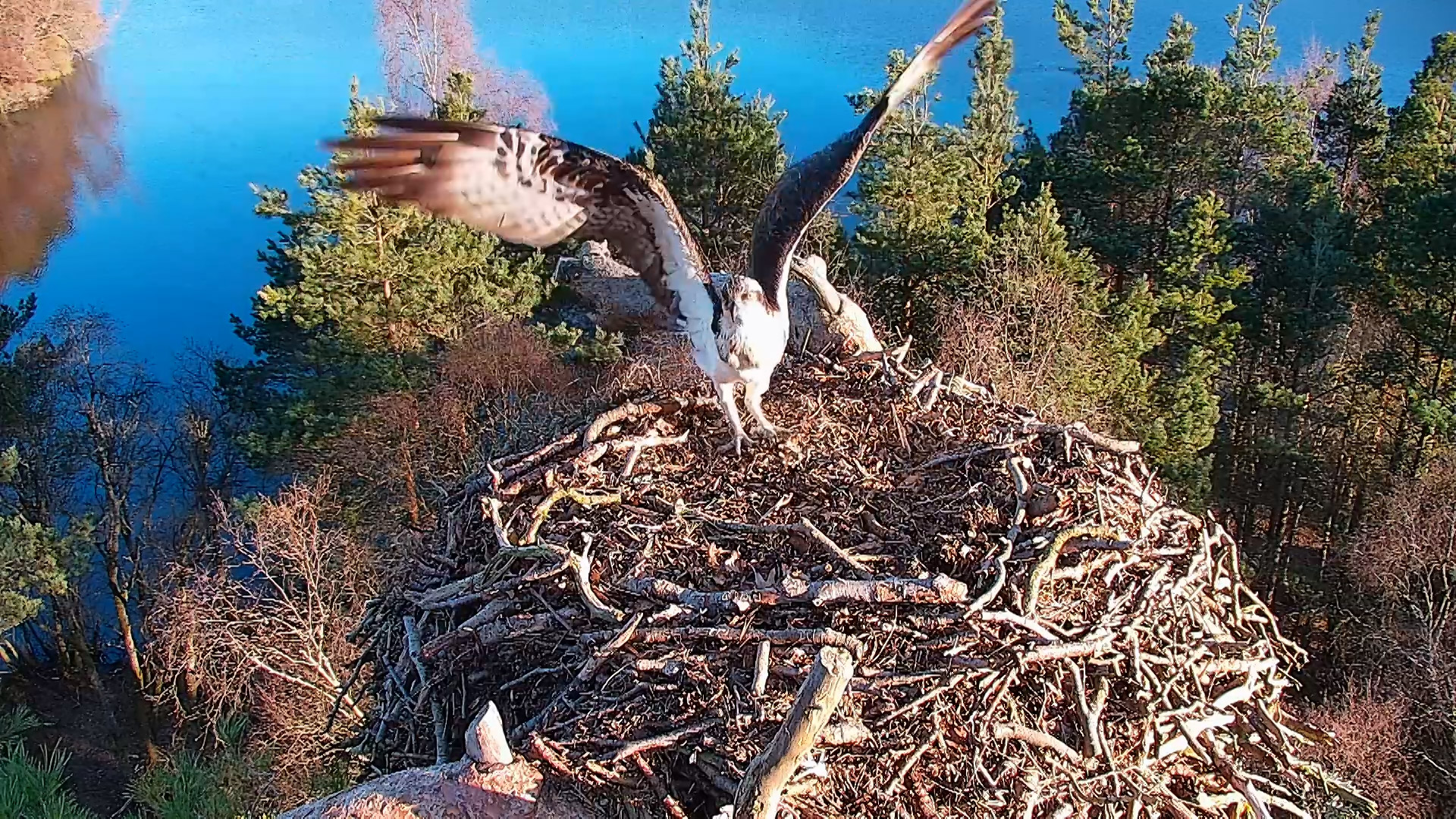 The ospreys are back at Loch of the Lowes but when can you visit?