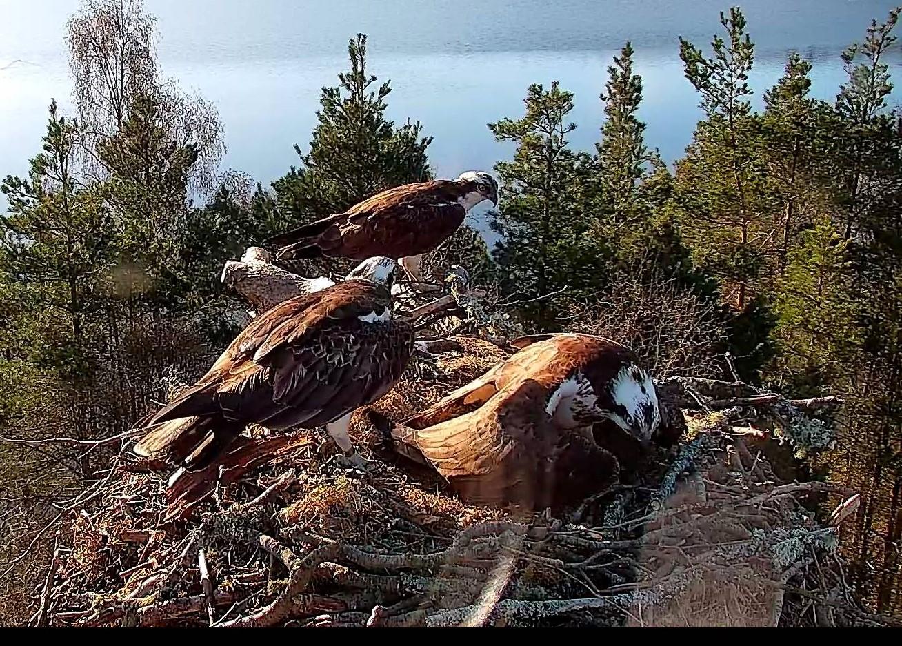 Intruding ospreys