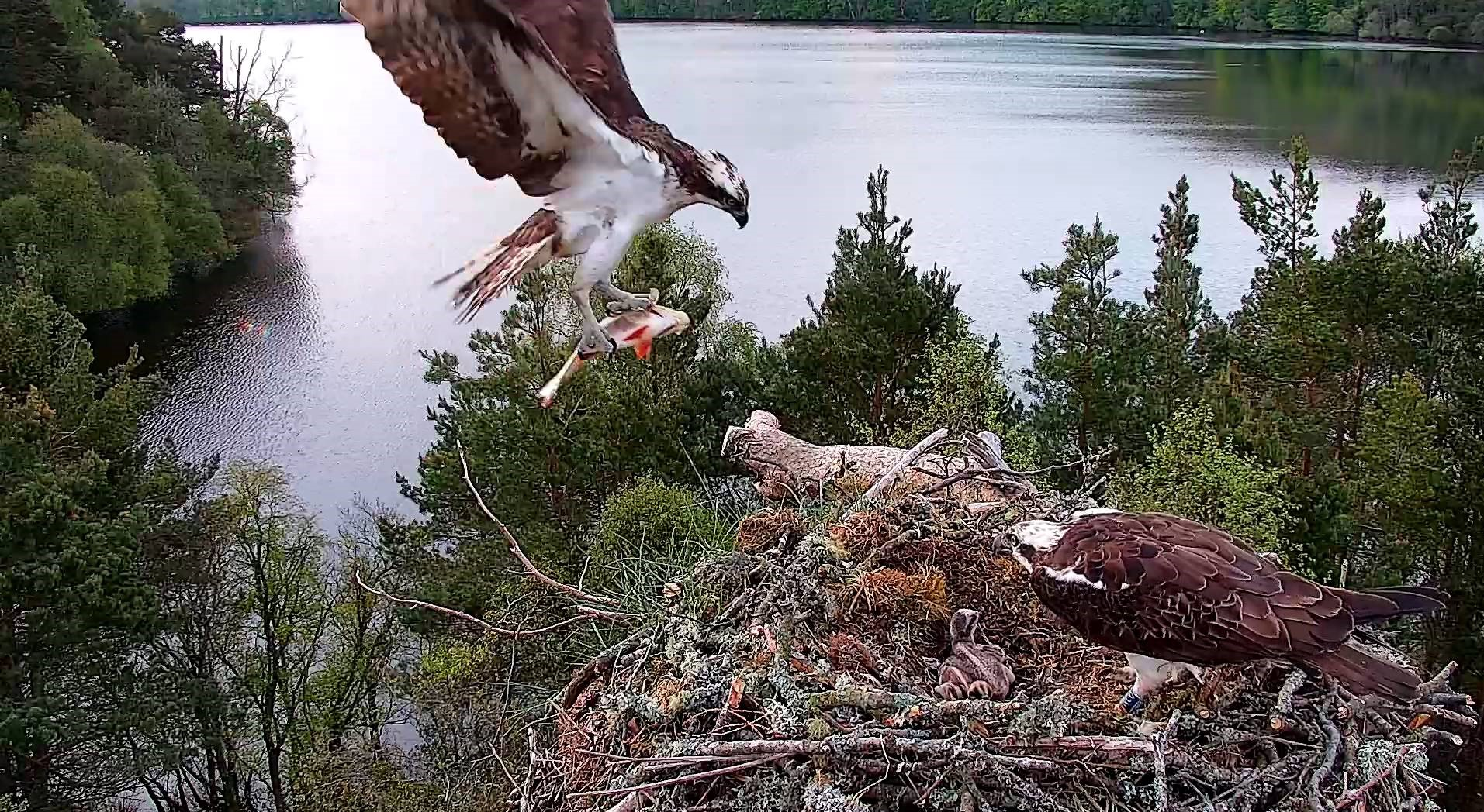 'Flying fishermen': the key features that help ospreys hunt