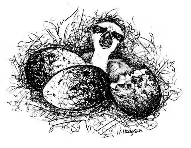 What is asynchronous hatching and why do ospreys hatch their eggs days apart?