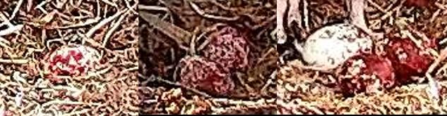 Three osprey eggs