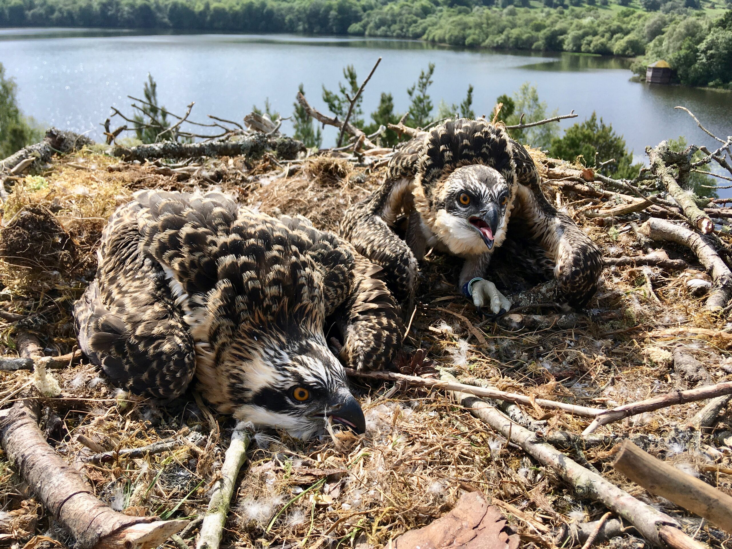 Meet our newly ringed osprey chicks LR1 and LR2