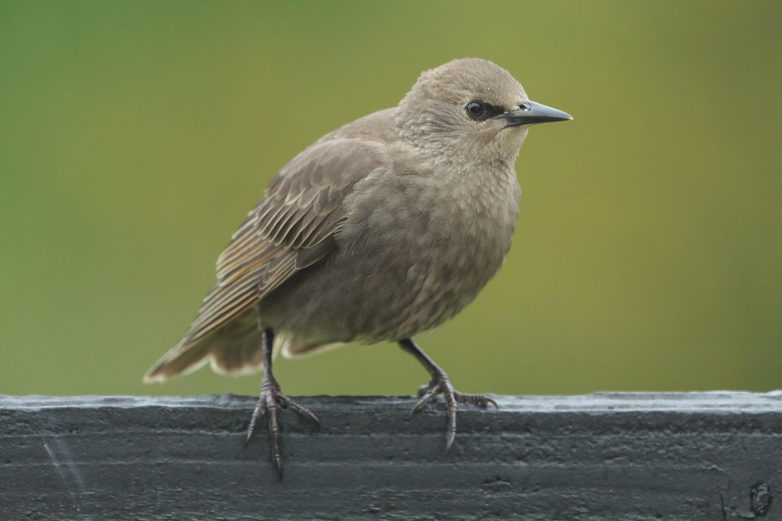 What fledgling am I seeing in my garden?