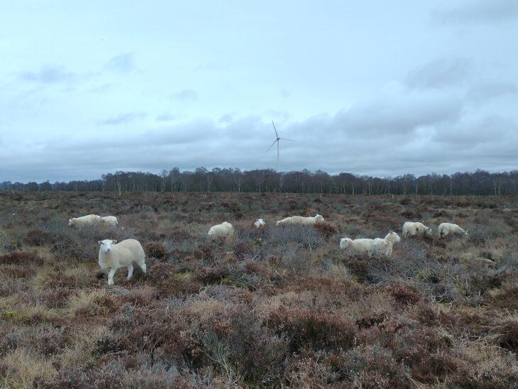 Sheep grazing Cander Moss