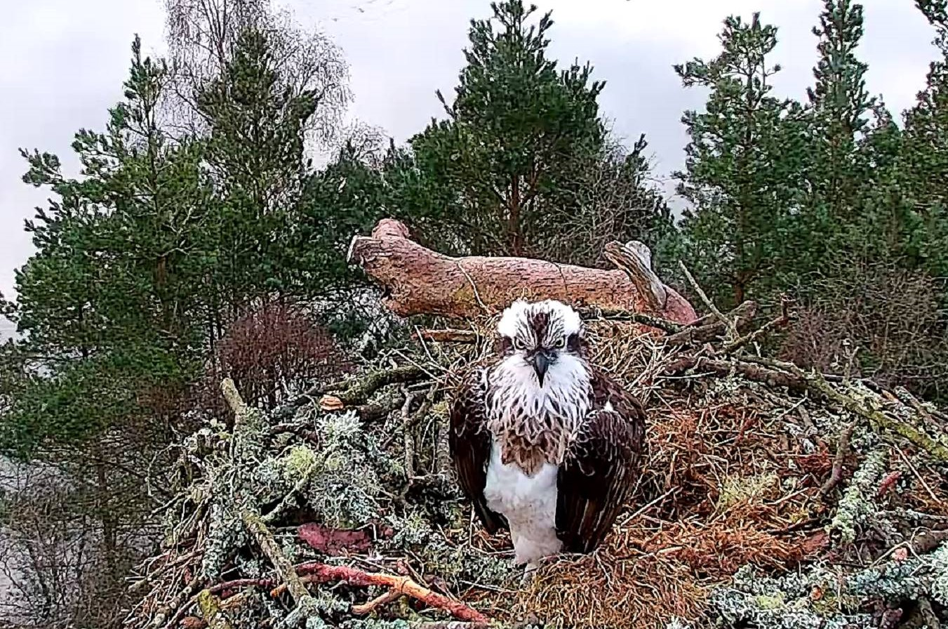 How do migrating ospreys find their way south?