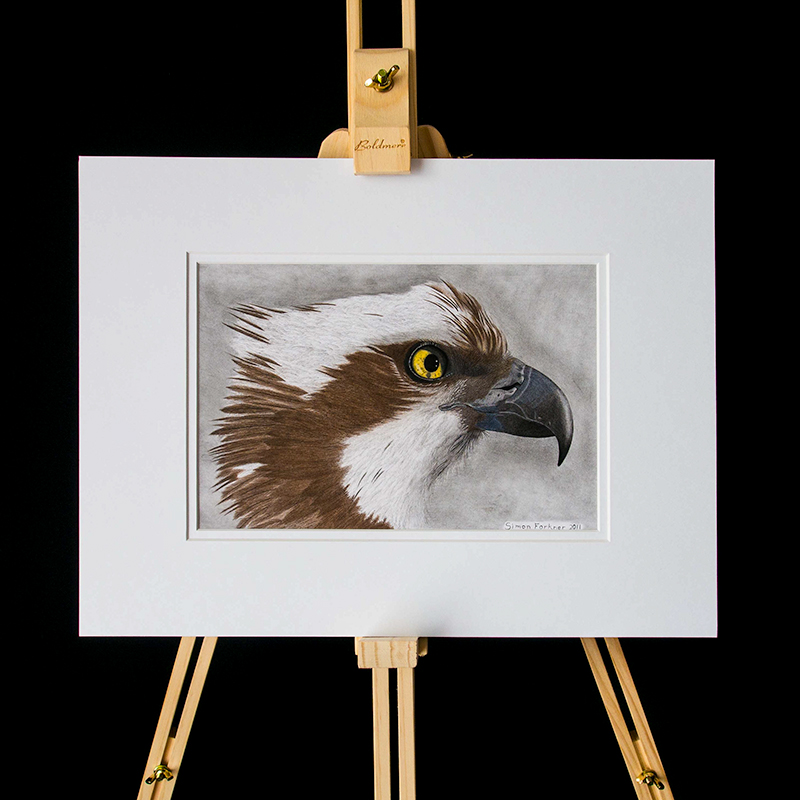 Osprey illustration