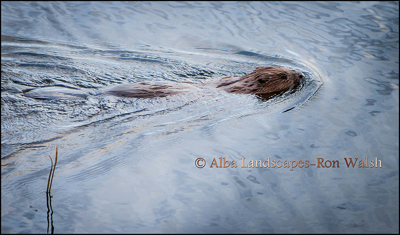 Beaver at Loch of the Lowes 2013 copyright Ron Walsh