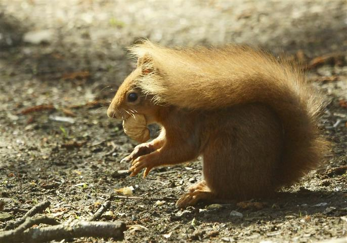 Red Squirrel with walnut - 5 May 2013 - copyright Nigel Wedge