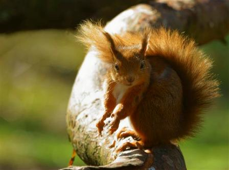 Red Squirrel in the wind - 5 May 2013 - copyright Nigel Wedge