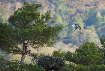 Male Osprey coming to the nest - 5 May 2013 - copyright Nigel Wedge