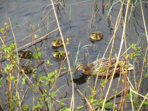 Mallard Ducklings by Rachel Whitaker 2013