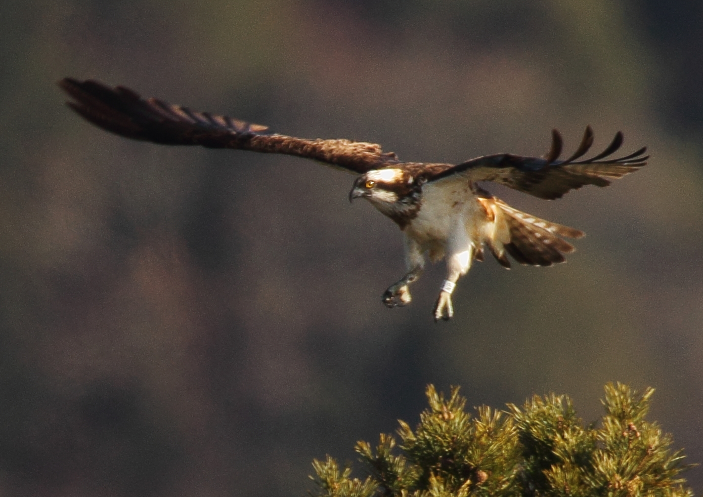 Intruder Osprey at Loch of the Lowes Neil Macdonald 2013