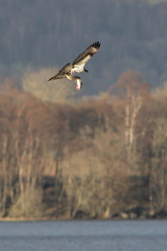 Male osprey 2013 Copyright Phil Hannah