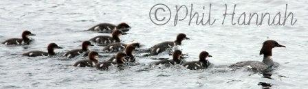 Goosander chicks III 9.6.13 copyright 9.6.13 copyright Phil Hannah