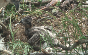 Loch of the Lowes Osprey chick Day 14 2013