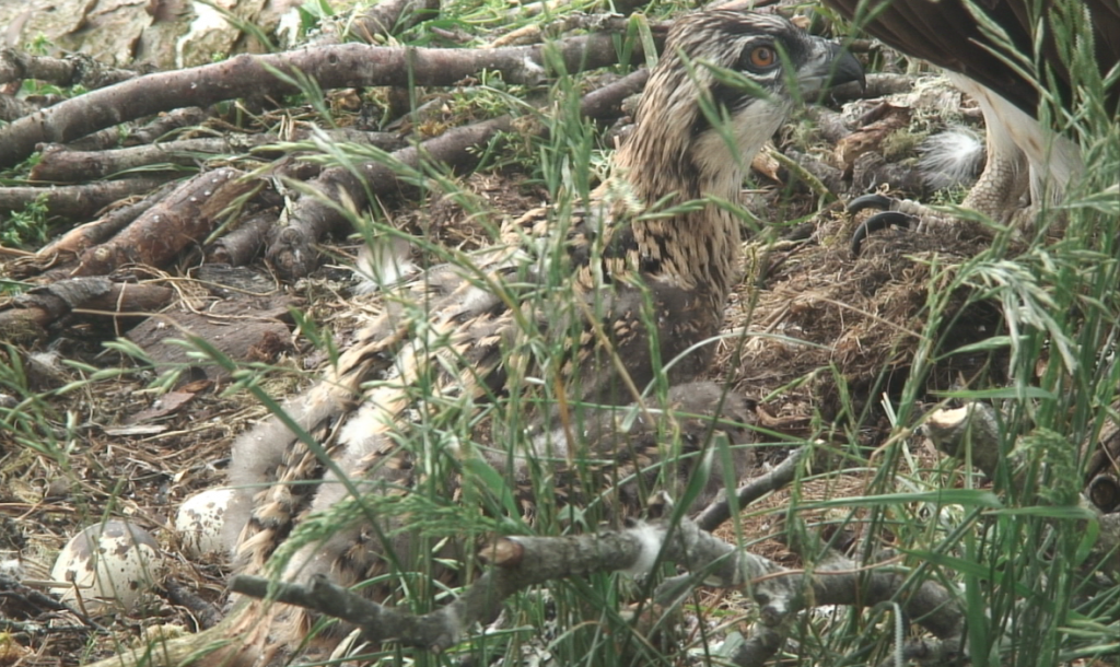 Osprey chick Loch of the Lowes 25th June 2013 copyright SWT