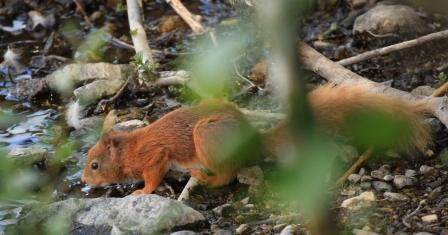 Red Squirrel drinking from loch - 17.06.13 - copyright Keith & Rosie Barnes
