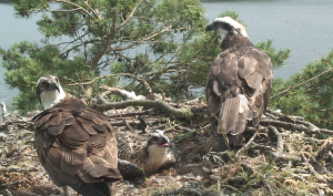 Osprey Family 11th July 2013, copyright SWT