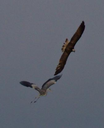 Female Osprey divebombing Heron - 29.7.13 - copyright Steve Earle
