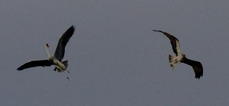 Male Osprey takes on the Heron - 29.7.13 - copyright Steve Earle
