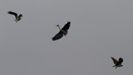 Male (on left) and Female (on right) Ospreys divebomb the Heron - 29.7.13 - copyright Steve Earle